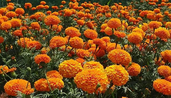 खेर जाँदै सयपत्री फुल